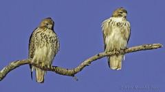 Pair of Red-tailed Hawks IMG_8126- (ronzigler) Tags: bird nature canon hawk sigma raptor redtailed avian birdwatcher 150600mm