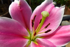 Oriental Lily - Pink Brilliant (dgardenia) Tags: flower fruit bulb garden tomato spring pond lily plumeria pomegranate vegetable amaryllis frangipani maco hyacinth passionfruit alyssum belladonnalily