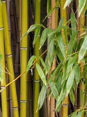 _C122586-web-7.jpg (laurenz.lanik) Tags: vienna bamboo botanicgarden bambus botanischergarten
