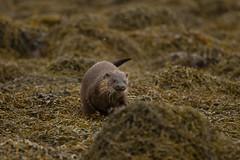 European Otter (jon lees - busy) Tags: beach water animal female swimming mammal fishing otter hunter predator seashore britishwildlife foreshore assi strangfordlough lutralutra europeanotter irishwildlife