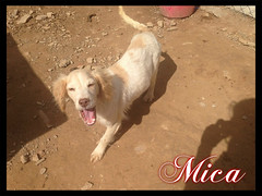 Mica (santuariolacandela) Tags: españa puppy spain mica animalsanctuary femaledog adoption cachorra apadrina hembra fosterhome acogida adopción cabezalavaca amadrina santuariolacandela