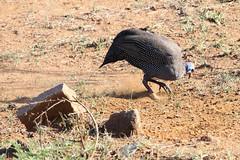 Guinea Fowl scrubbing for food (leonhallza3) Tags: nature animals canon southafrica eos bush wildlife dxo afrika m3 bos guineafowl pilanesberg bushveld bosveld tarentaal