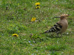 Hoopoes are back.3
