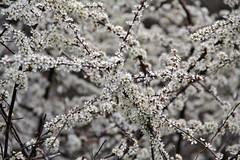 Val d'Aosta - le traverse di Arnad, fior di prugnolo (mariagraziaschiapparelli) Tags: primavera fiori valdaosta escursionismo camminata arnad fioriture allegrisinasceosidiventa traversediarnad