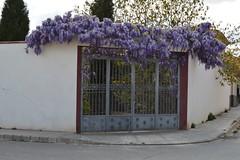 Marco de lilas (antcaesar) Tags: flores patio albacete lilas puertas madrigueras