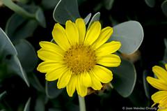 Macro_La Tossa 016 (jomendro) Tags: macro planta animals flor natura plantes macrofotografa abelles latossademontbui