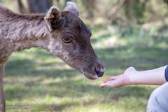 Mme pas peur !!! (La photo & moi....) Tags: animaux enfant nourriture fort daim