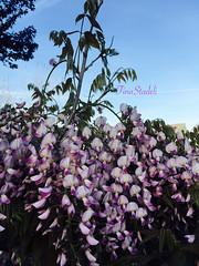 Fence Wisteria (Tina Stadeli) Tags: beauty oregon spring purple pacificnorthwest blooms pnw wisteria clibingflower