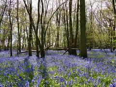 April wood (sunset1uk) Tags: bluebells spring westsussex springflowers blueflower autofocus springbulbs blueflowers bluebellwood colegate saariysqualitypictures