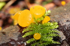 Jelly Fungi (Tyrannodactyl) Tags: orange macro moss yummy fungi fungus jelly slimy
