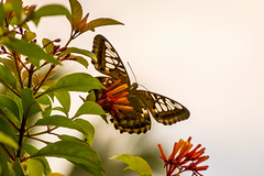 Up in the sky (malc1702) Tags: flowers macro nature beauty leaves closeup butterfly garden outdoors insects magicmoments orangeflowers fantasticnature largebutterfly nikond7100 nikkor18140mm