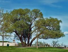 Magnificent Tree (Nicober!!!) Tags: canada green nature quebec abraham vert plaines plains dabraham