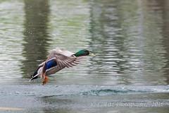 Duck Landing (kevnkc2) Tags: park county duck spring pond nikon pennsylvania contemporary ducks sigma cumberland lightroom shippensburg d610 stdntsdoncooper 150600mm 150600f563