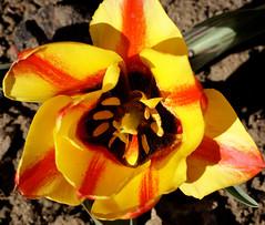 Tulpe / tulip (tulipa) (HEN-Magonza) Tags: flowers nature germany deutschland flora natur blumen tulip mainz springtime tulipa frhling tulpe rheinlandpfalz rhinelandpalatinate botanischergartenmainz mainzbotanicalgardens
