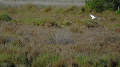 Flying Egretta garzetta (little egret) (Alba.S) Tags: birds aves pjaros mallorca birdwatching albufera