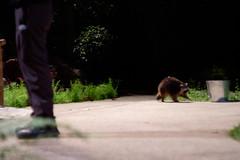 Sneaky racoon (Stinkee Beek) Tags: nightsafari