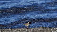 Ringed Plover (ingolfssonvalur) Tags: bird birds wildlife fugl plover ringed charadriushiaticula ingvallavatn sandla