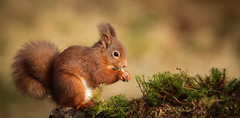 Red Squirrel (forbesimages) Tags: red wild scotland squirrel scottish