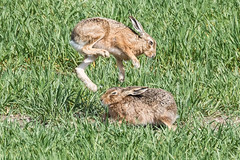 "Hare April 2016 ""way hey hey"" (jgsnow) Tags: animal spring jumping hare"