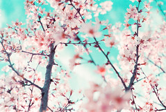 Symphony of Color (thomas_anthony__) Tags: camera pink flowers blue trees light sky flower color tree texture film clouds analog canon lomo lomography purple blossom bokeh branches blossoms dream dreams passion cherryblossoms dreamy a1 analogue dogwood canona1 twigs dreamscape skyporn lomochrome lomochromepurple
