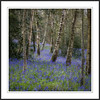 River Wood Bluebells (Chalky666) Tags: wood trees tree woodland spring westsussex bluebell southdowns silverbirch rockpaper