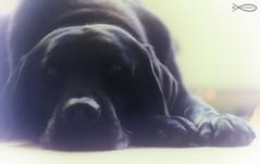 Vintage (Chris Johnston Photography) Tags: portrait pets film dogs vintage labrador sony buddy 58mm helios 44m