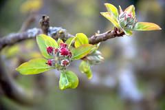 C'est l'printemps (alessandrini) Tags: flowers fleurs spring pomme pommier