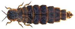 Lampyris noctiluca  (Linnaeus, 1758) Female (urjsa) Tags: england insect europa europe britain beetle insekt käfer noctiluca coleoptera kaefer lampyridae lampyrisnoctiluca lampyris taxonomy:order=coleoptera geo:country=england taxonomy:family=lampyridae coleopteraus taxonomy:binomial=lampyrisnoctiluca taxonomy:genus=lampyris taxonomy:species=noctiluca