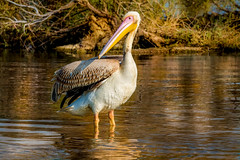 Big guy! (malc1702) Tags: nature water birds closeup wildlife ngc pelican wildlifesanctuary migratorybirds largebirds birdinwater nikond7100 tamron150600