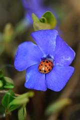 Ladybug on Vinca Flower (erin lanigan) Tags: ladybug vinca