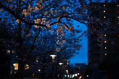 twilight hanami (Nazra Zahri) Tags: sunset urban nature japan night spring twilight nikon raw dusk  sakura cherryblossoms streetscape hanami okayama 2016 50mmf14d d700