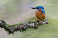 R16_3760 (ronald groenendijk) Tags: holland bird nature netherlands birds animal europe outdoor wildlife vogels natuur kingfisher tak vogel alcedoatthis ijsvogel natuurfotografie martinpecheur groenendijk ronaldgroenendijk cronaldgroenendijk rgflickrrg