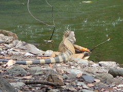 iguana (sftrajan) Tags: lake colombia telephoto iguana botanicgarden botanicalgarden medellin botanicgardens jardnbotnico   jardnbotnicodemedelln jardnbotnicojoaqunantoniouribe botanicalgardenofmedelln medellnbotanicgarden