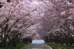 (yu-ki929) Tags: nature japan  cherryblossom sakura yamaguchi  fullbloom