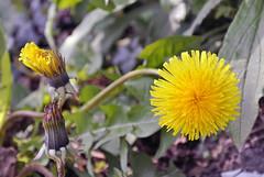 Lwenzahn (borntobewild1946) Tags: flower blossom nrw blume blte nordrheinwestfalen rheinland niederrhein lwenzahn copyrightbyberndloosborntobewild1946 mai2016