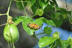 (beazambuja) Tags: butterfly borboleta passiflora passionfruit maracuja