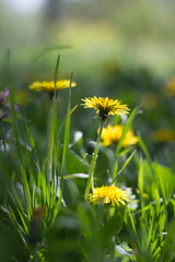 dandelion (orendaele) Tags: green grass yellow prime spring dandelion hash springtime jaundiced acidgreen springtide xanthous 28may2016