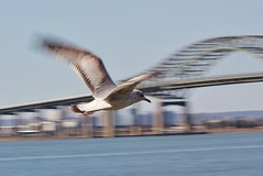 Flight (K Lyden Photos) Tags: motion bird water jerseycity outdoor flight bayonne northjersey avians turnpikebridge