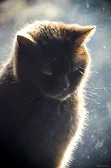 Bear (bigbluewolf) Tags: cats sun sunshine cat nikon sigma shorthair british britishshorthair brow 18250 bestofcats d7000