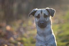 IMG_8329 (Alicja Gryska) Tags: light dog pet sun animal canon golden spring sundown bokeh outdoor hour goldenhour canon85mmf18 85mmf18 1100d canon1100d