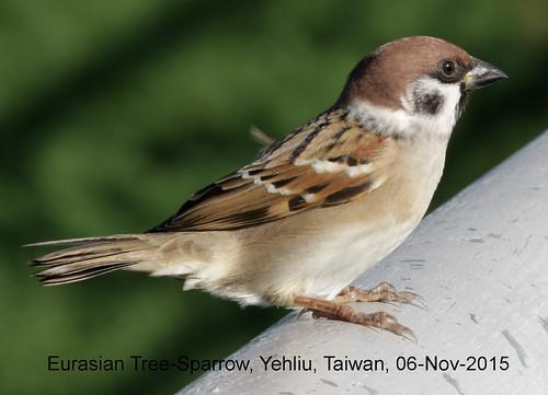 Sparrow, Eurasian Tree, 20151106 (2) copy