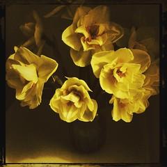 £1 (Caroline Oades) Tags: quid 366 triplecrown canocafenol magdalena hipstamatic enlight daffodils daffs jamjar treat onepound £1 marksandspencer ms flowers yellow 101366 1042016