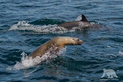 Jump around (fascinationwildlife) Tags: ocean california sea wild usa nature animal america mammal bay monterey moss jump pacific dolphin wildlife natur lion landing common delfin seelwe