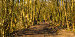 Late Afternoon Spring Sunshine And Shadows (williamrandle) Tags: uk trees england dog sun plant tree texture sunshine forest landscape spring woodlands nikon shadows outdoor path shade serene walkers staffordshire 2016 southstaffordshire baggeridgecountrypark d7100 tamron2470f28vc