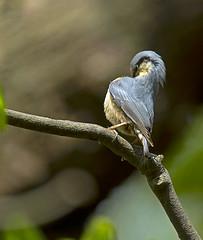 Nuthatch_0682 (Peter Warne-Epping Forest) Tags: uk bird wildlife nuthatch essex sittaeuropaea essexgarden coppedhallpark