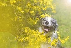 Smile, it's free therapy. (patiigraphy) Tags: park light portrait dog pet sun nature smile animal yellow outside mammal happy spring friend day pentax outdoor poland polska sunny warsaw bordercollie photosession kiara warszawa sunnyday dogphotography helios happines bluemerle petphotography patii happypets pentaxk5 patiigraphy