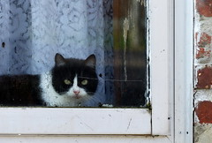 (MAGGY L) Tags: window wet look cat chat sale dirty angry fentre rideau damp vitre humide mouill dmcfz200