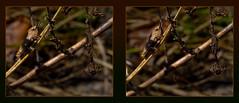 Grasshopper In Hiding 1 - Parallel 3D (DarkOnus) Tags: macro closeup insect lumix stereogram 3d pennsylvania panasonic stereo grasshopper hiding parallel stereography buckscounty dmcfz35 darkonus