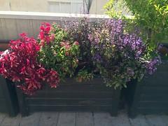 Pentas Flowerbed (Assaf Shtilman) Tags: pink flowers red purple flowerbed pentas