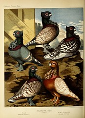n393_w1150 (BioDivLibrary) Tags: pigeons fieldmuseumofnaturalhistorylibrary bhl:page=49799261 dc:identifier=httpbiodiversitylibraryorgpage49799261